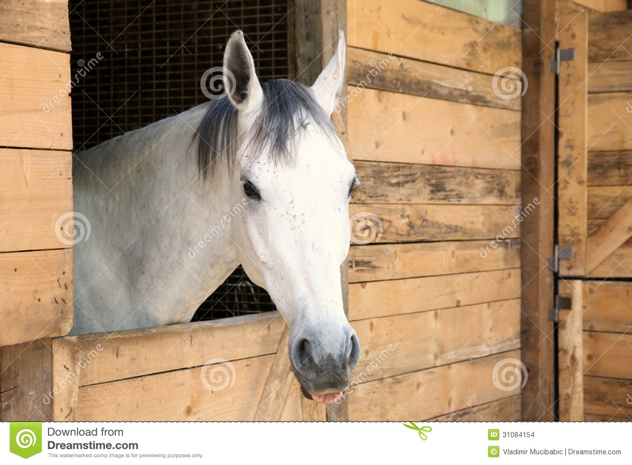 White Horse In The Stable Box Stock Photo Image Of White Jockey 31084154