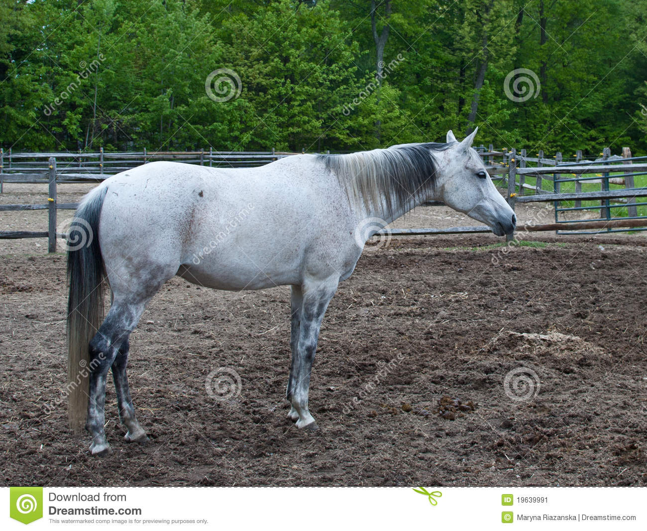 White horse standing stock image. Image of trunk, bridle ...