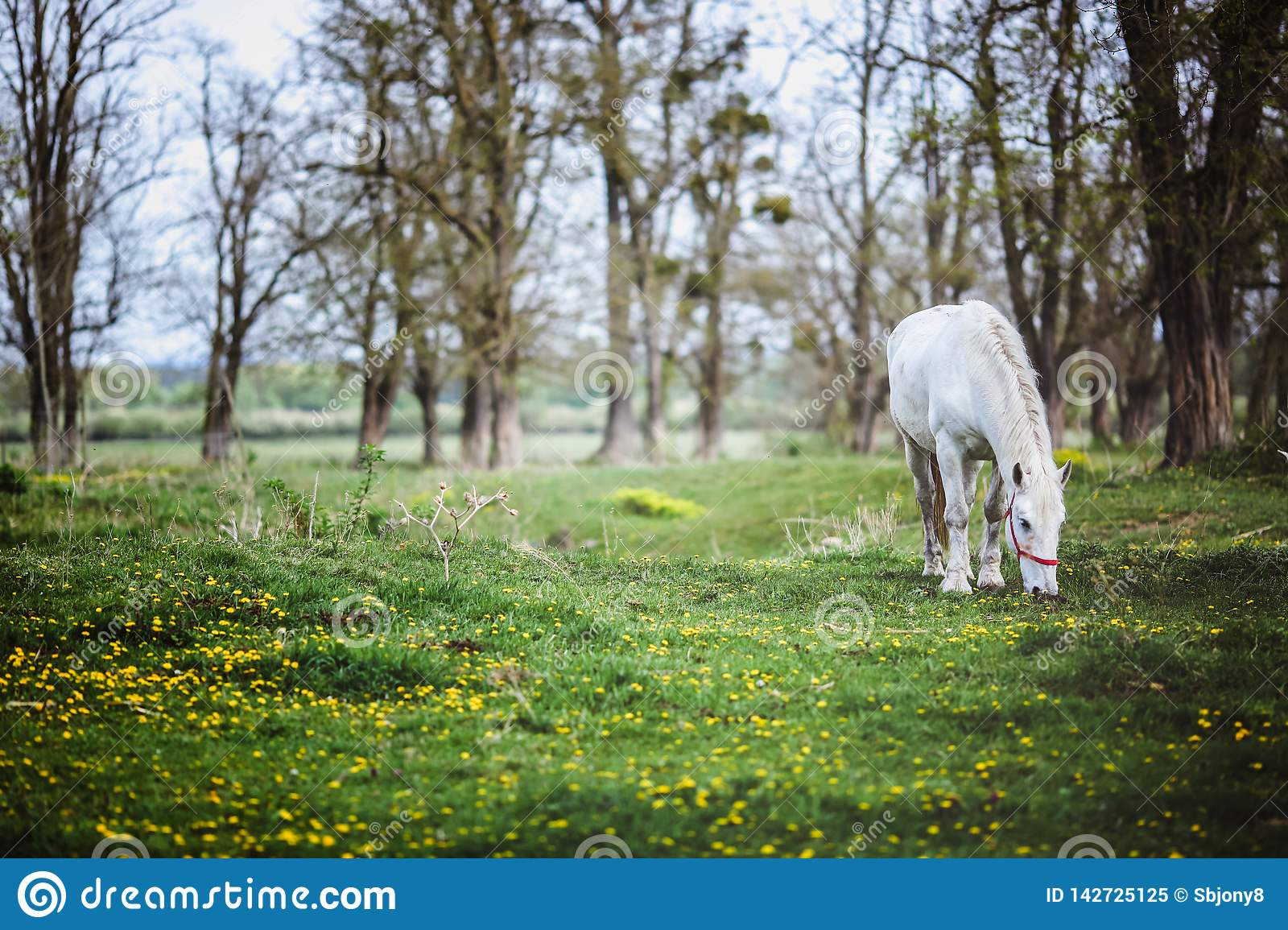 White horse standing in a forest glade with yellow flowers