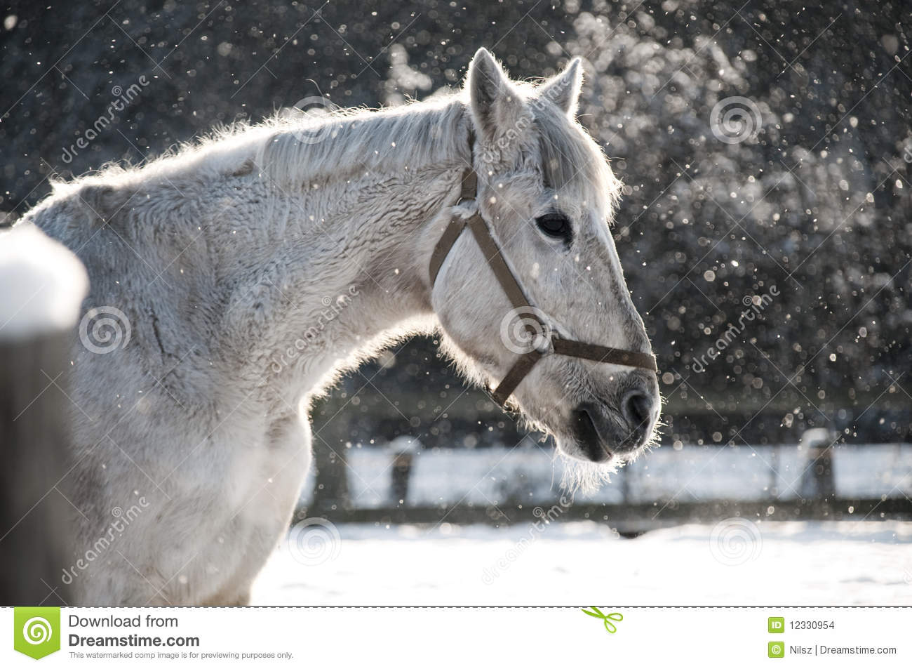 White Horse Standing In Snow Stock Photo - Image: 12330954