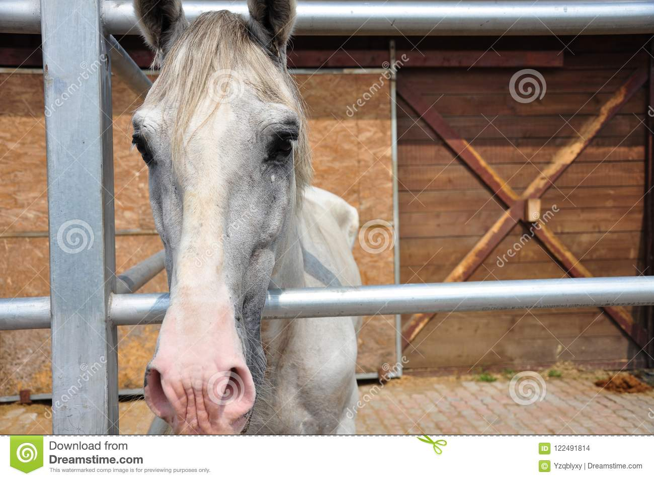 White Horse In Stable Stock Photo Image Of Equestrian 122491814