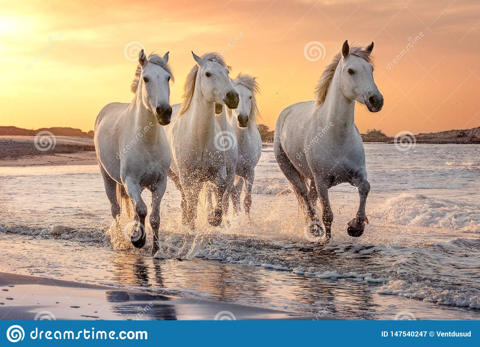 White horses in Camargue, France
