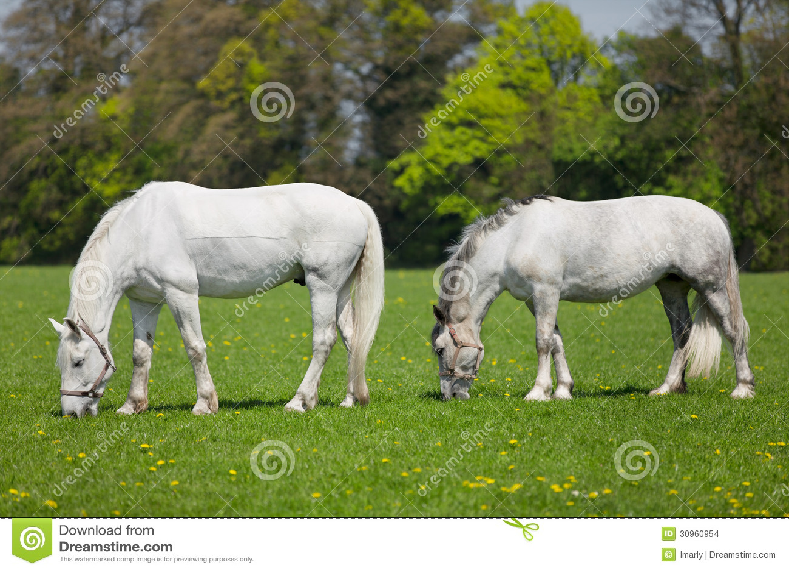 White horse eating grass - photo#8