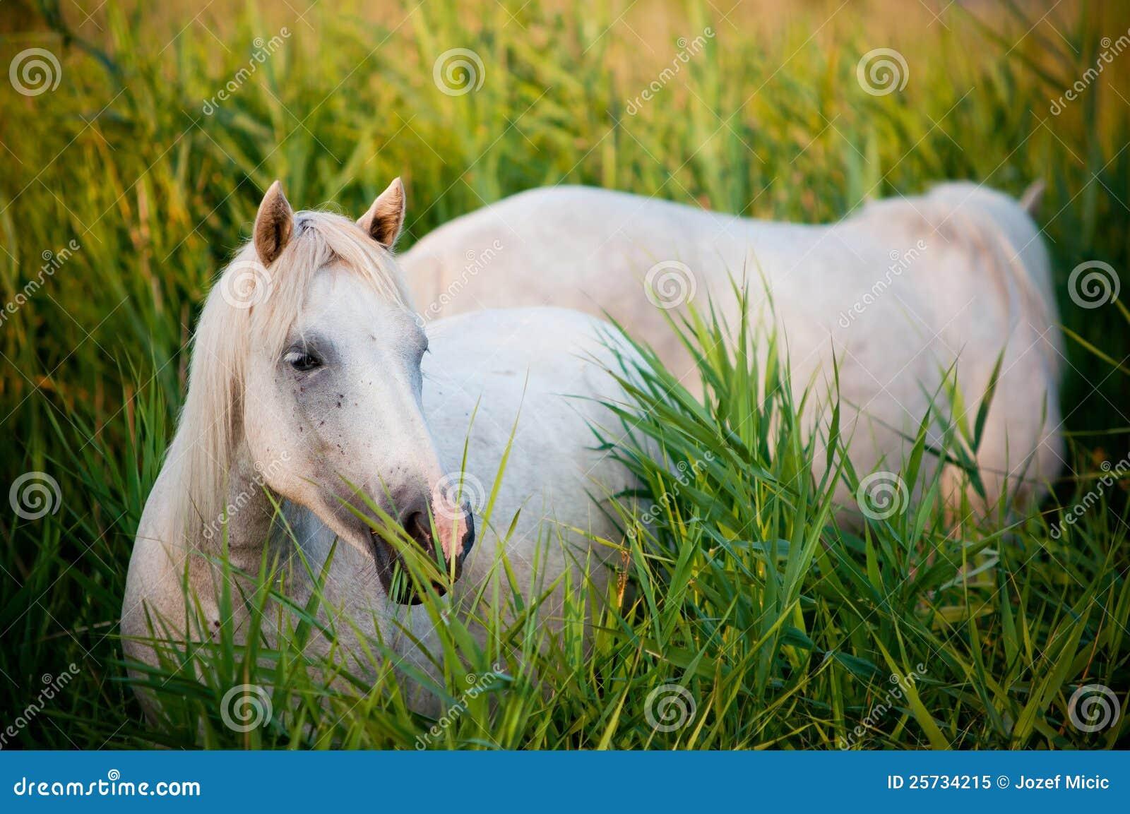 White horse eating grass - photo#6