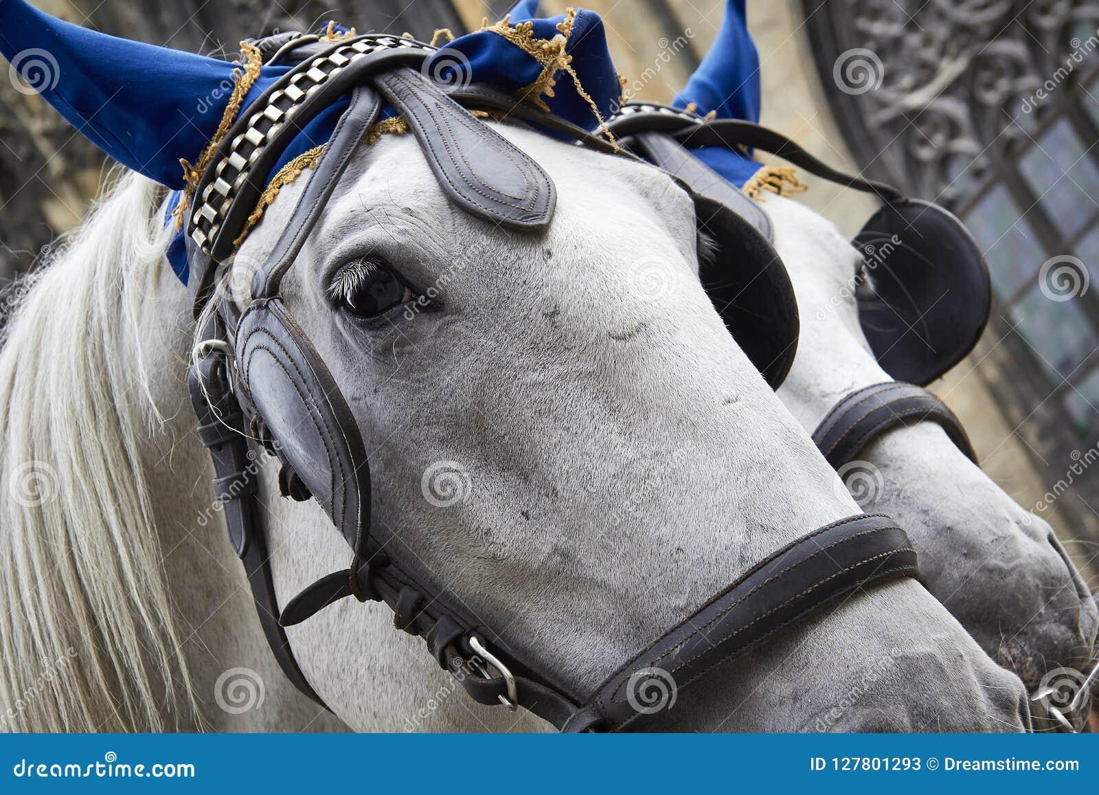 White horses similar twins portrait closeup bridle