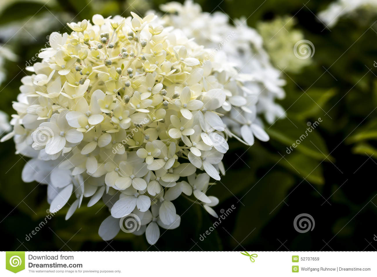 White Hydrangea Stock Image Image Of Beauty Bouquet 52707659