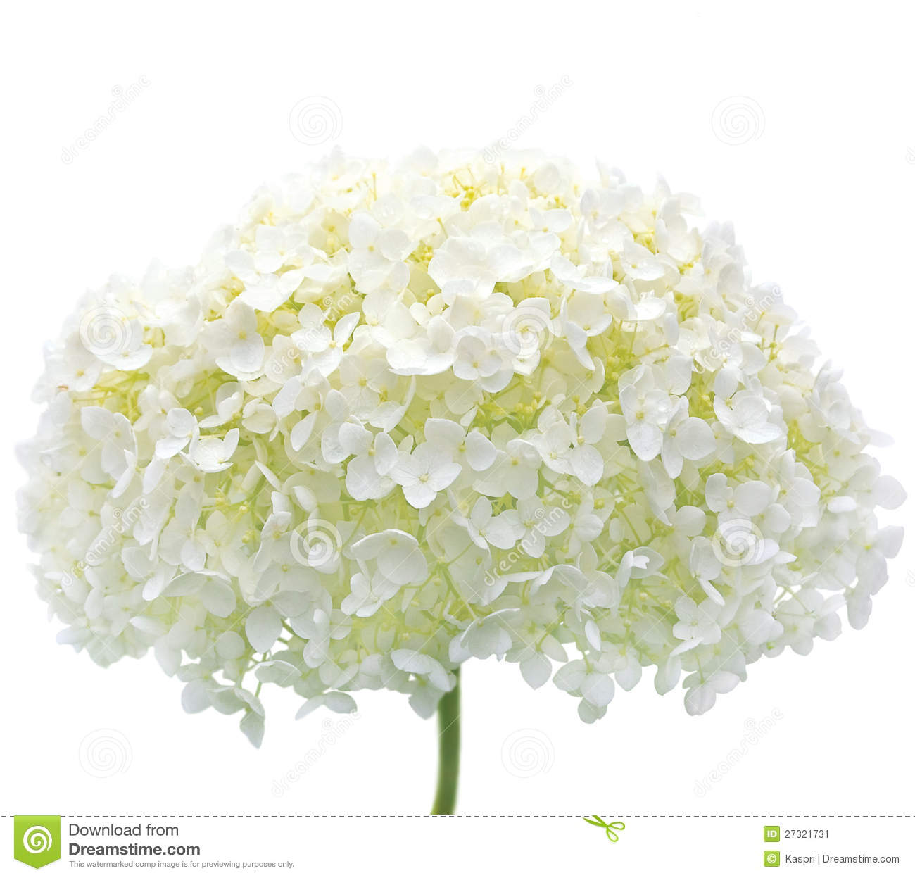 White Hydrangea Flower Isolated Closeup Mophead Stock Image Image