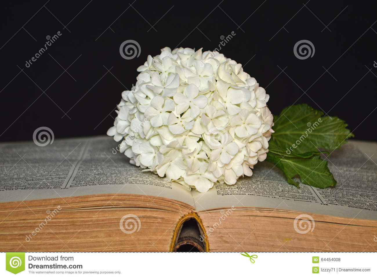 White Hydrangea Flower And Old Book Stock Photo Image Of Flower