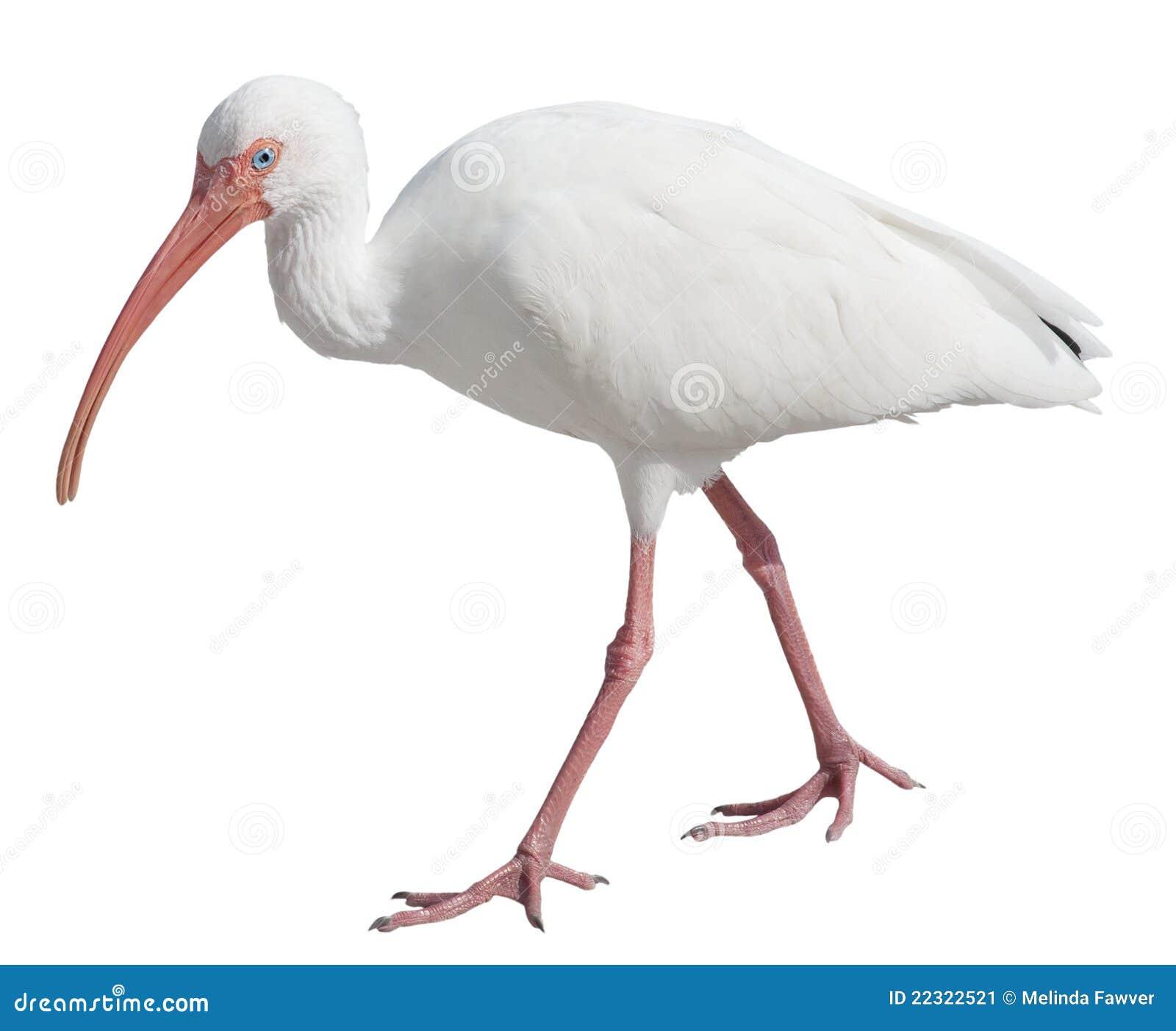 American White Ibis (Eudocimus albus) on a white background with ...