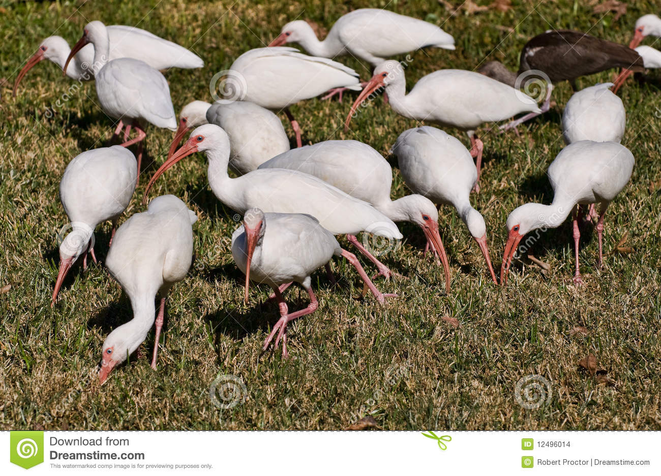 eater map with Stock Images White Ibis Birds Florida Image12496014 on Teater Store Og Smaa I Nyborg additionally 2061713771 in addition Helmeted Honeyeater further Sales Skills together with 4113722068.