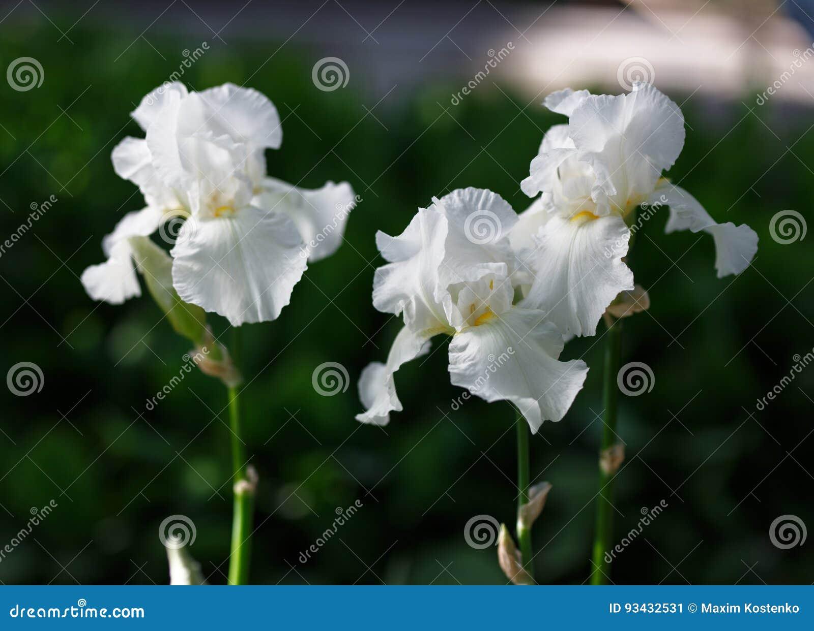 White Iris Flower Close Up Photo Stock Image Image Of Background