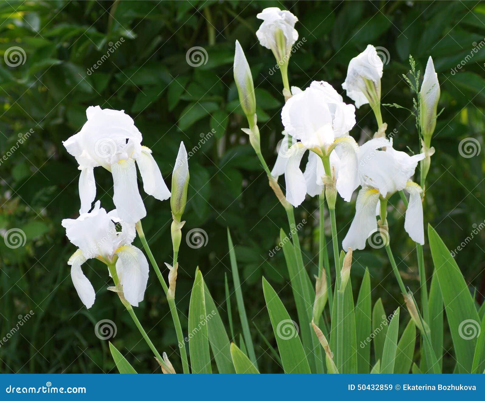 White iris flower in the garden stock image image of blooming white iris flower in the garden izmirmasajfo