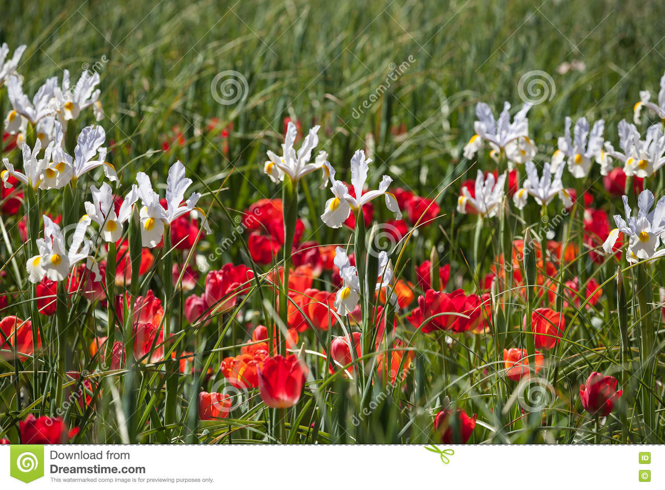 White Iris And Red Tulips Stock Image Image Of Bulb 81377695