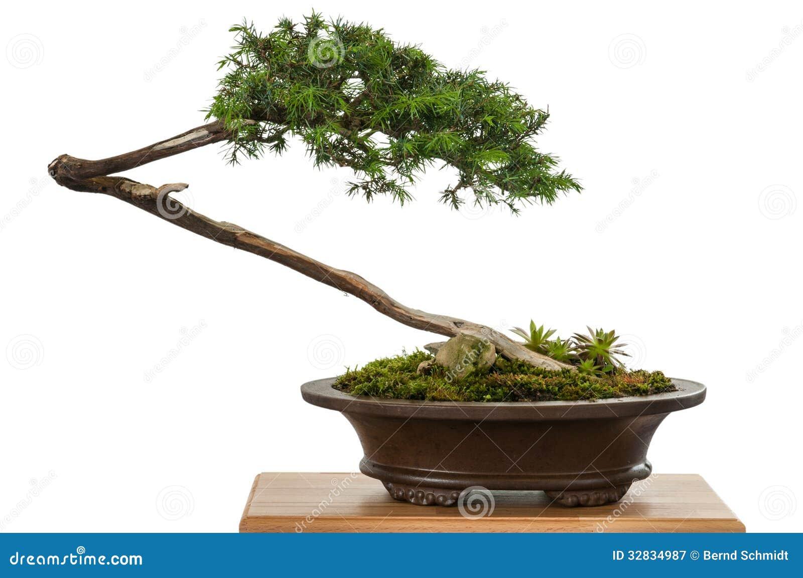 White isolated juniper as bonsai tree