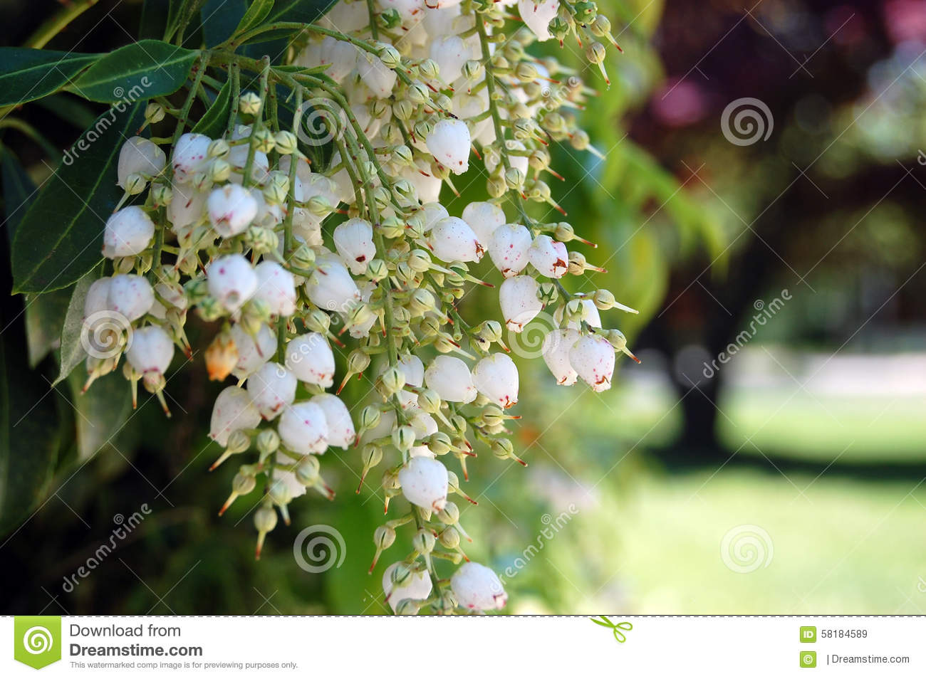 White Japanese Andromeda Pieris Japonica Hanging Flowers Stock Image