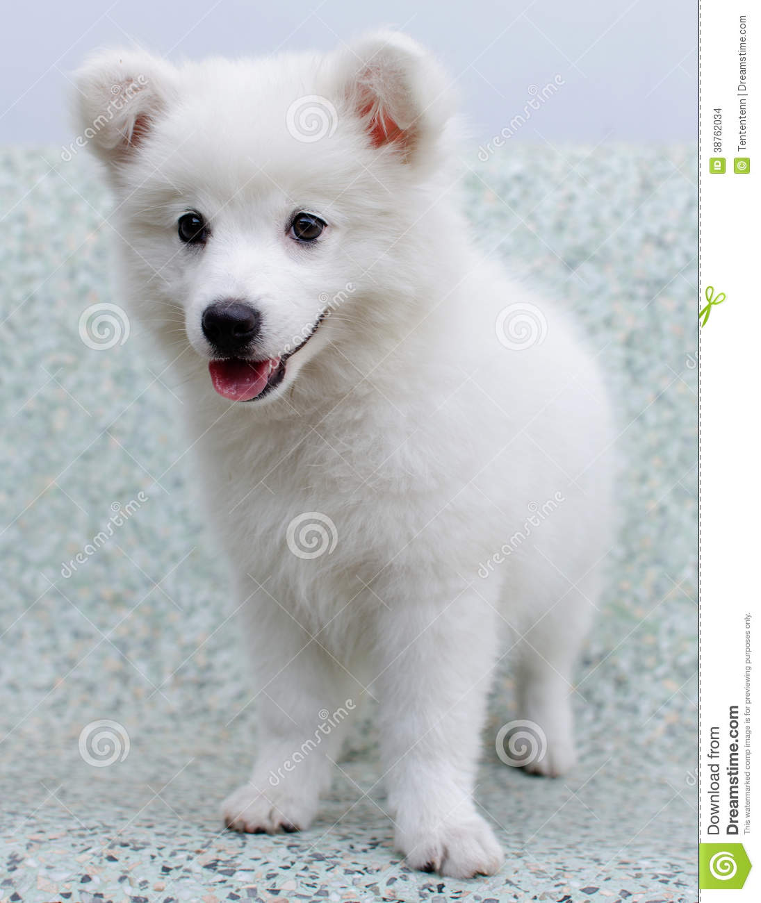 White Japanese Spitz Puppy Dog Stock Images - Image: 38762034