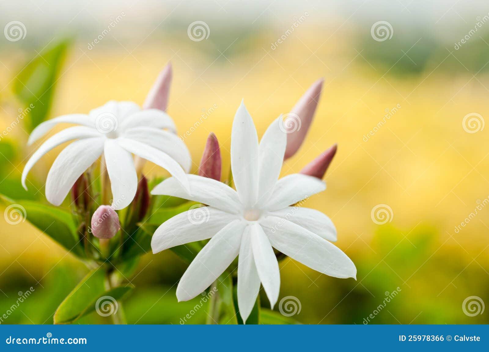 White jasmine flowers stock photo image of pink petal 25978366 white jasmine flowers izmirmasajfo