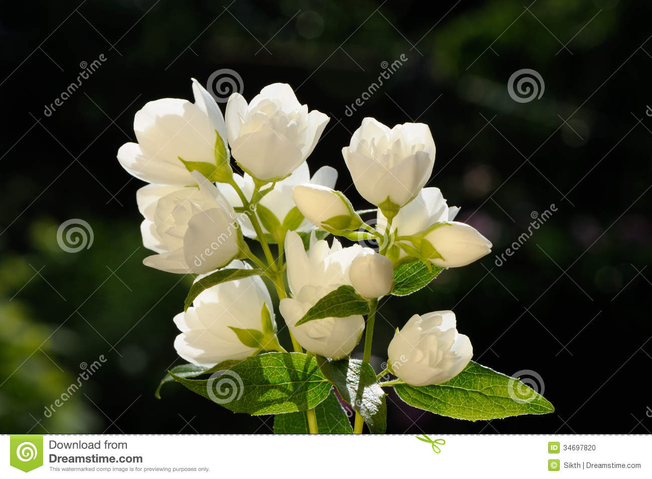 Beautiful Jasmine Flowers On White Background Stock Image Image Of