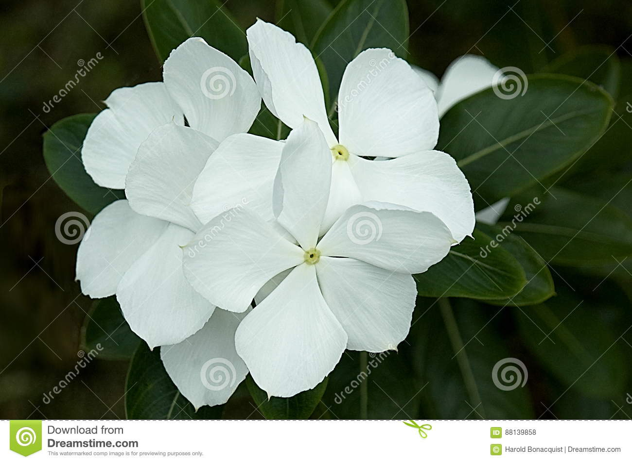 White Jasmine Flowers Stock Photo Image Of Seasonal 88139858