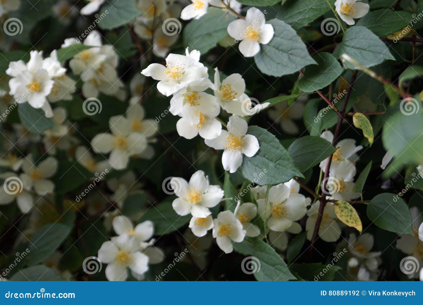White Jasmine Flowers Stock Photo Image Of Jasmine Flowers 80889192
