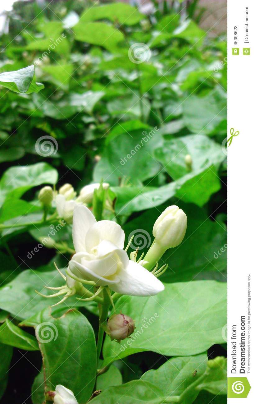 White Jasmine After The Rain In The Flower Garde Stock Image Image