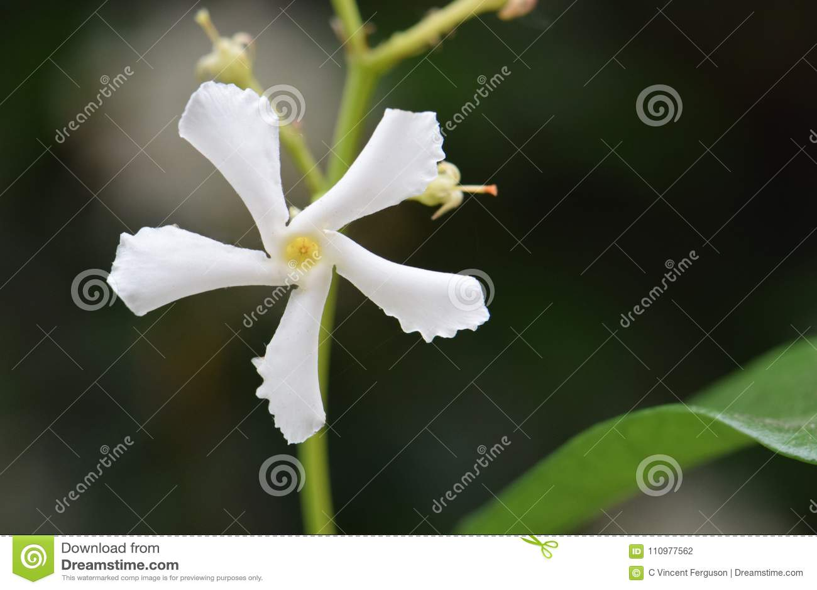 White Jasmine Star Flower Stock Photo Image Of Star 110977562