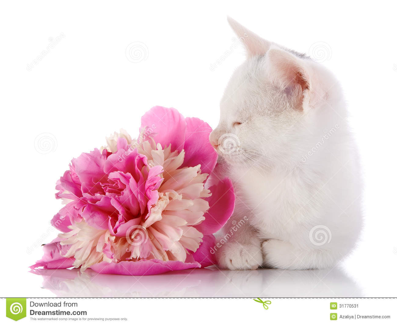 The white kitten lies near a pink flower of a peony stock image royalty free stock photo mightylinksfo