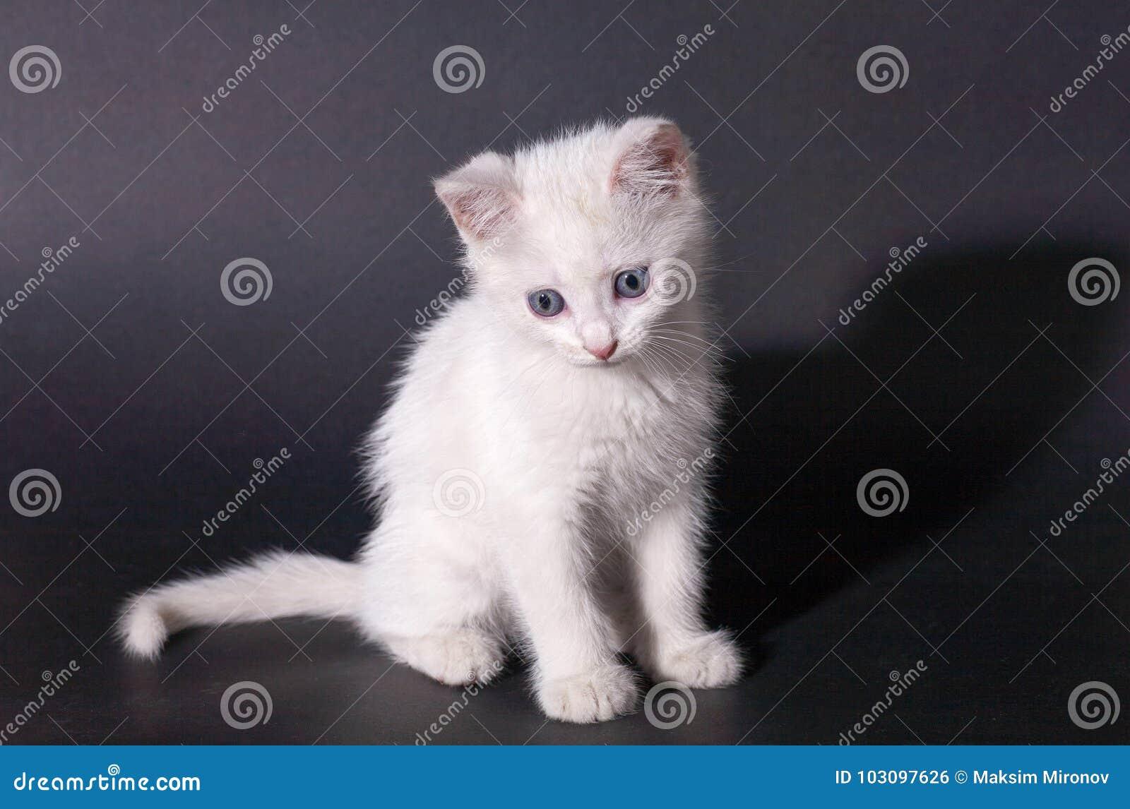 16b1b9cd2c Little Beautiful White Kitten With Blue Eyes Stock Photo - Image of ...