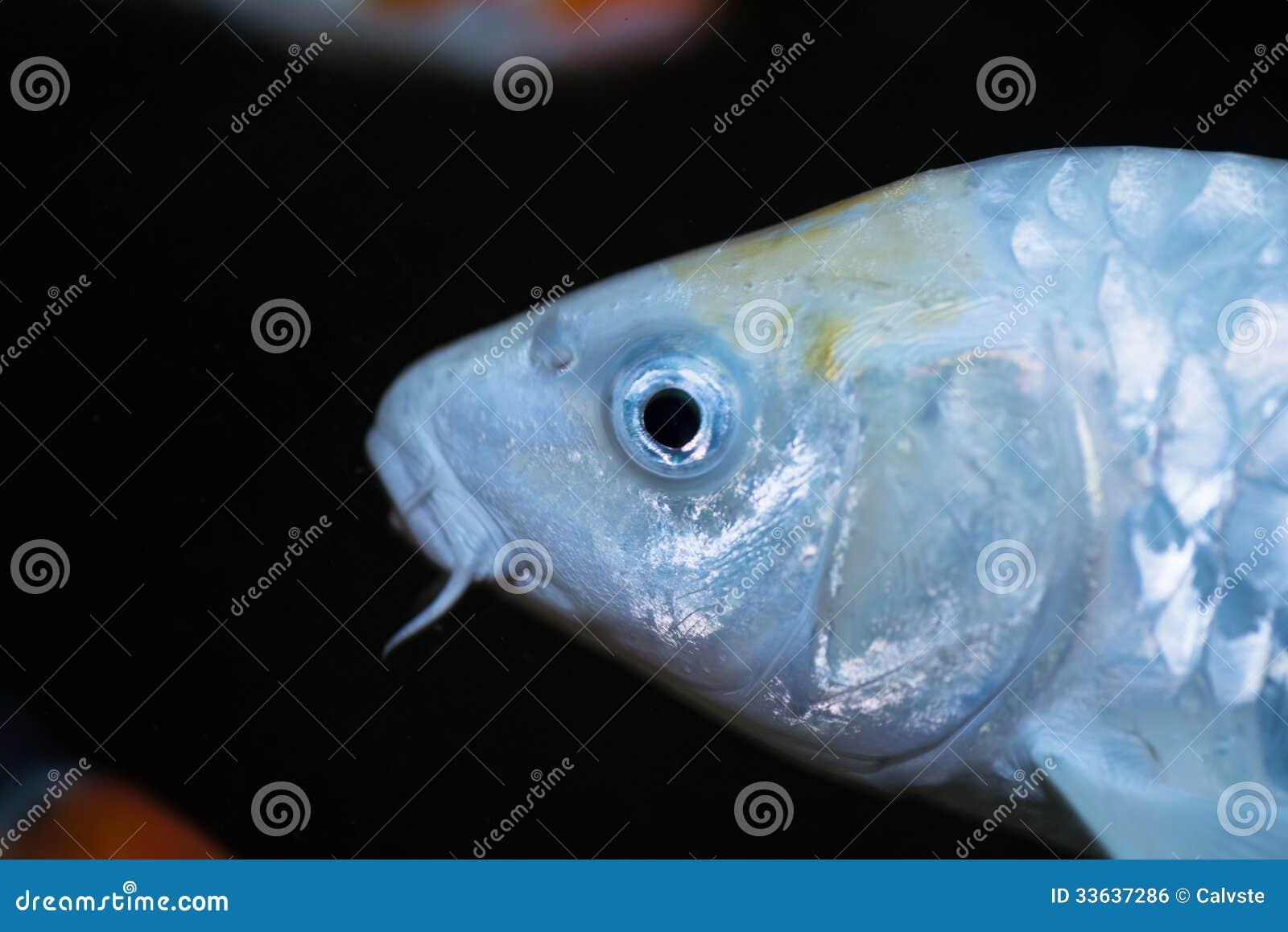 White koi carp fish extreme close up royalty free stock for White koi carp