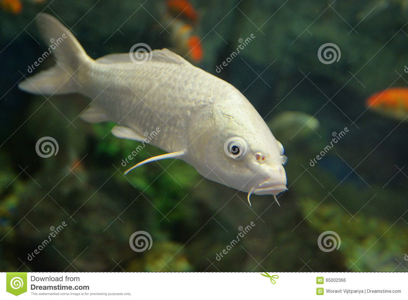 White koi carp stock photo image of carp aquatic swim for Carp in a fish tank
