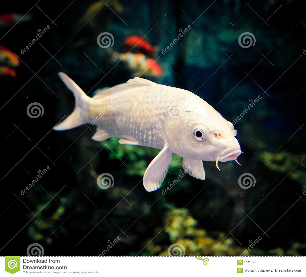 White koi carp stock photo image of tranquil orange for Dream of fish swimming