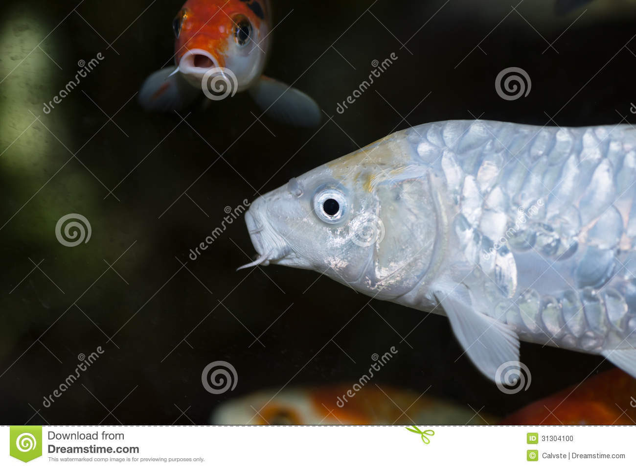 White koi fish in an aquarium stock photo image 31304100 for All black koi fish