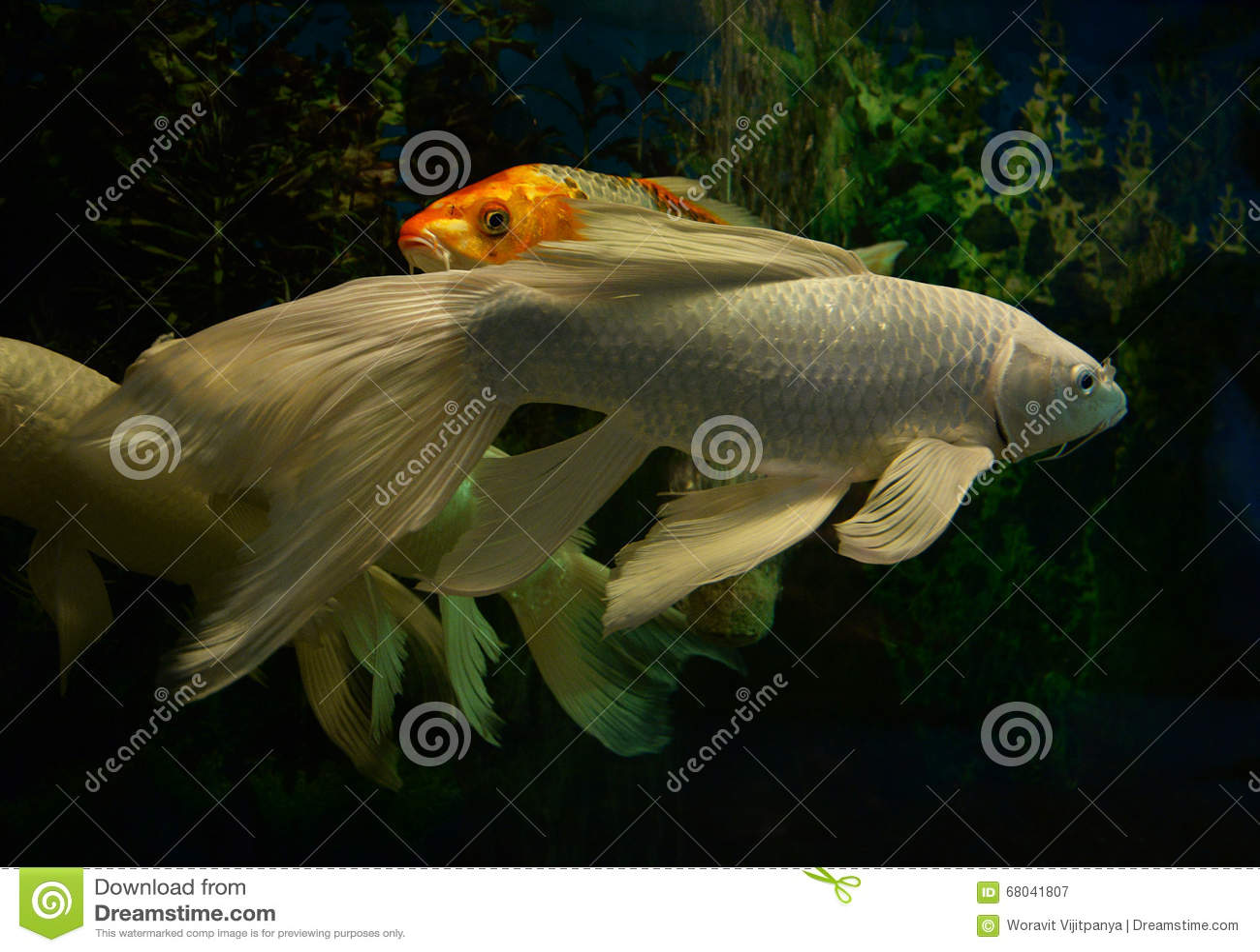 White koi fish stock photo image 68041807 for White koi carp fish