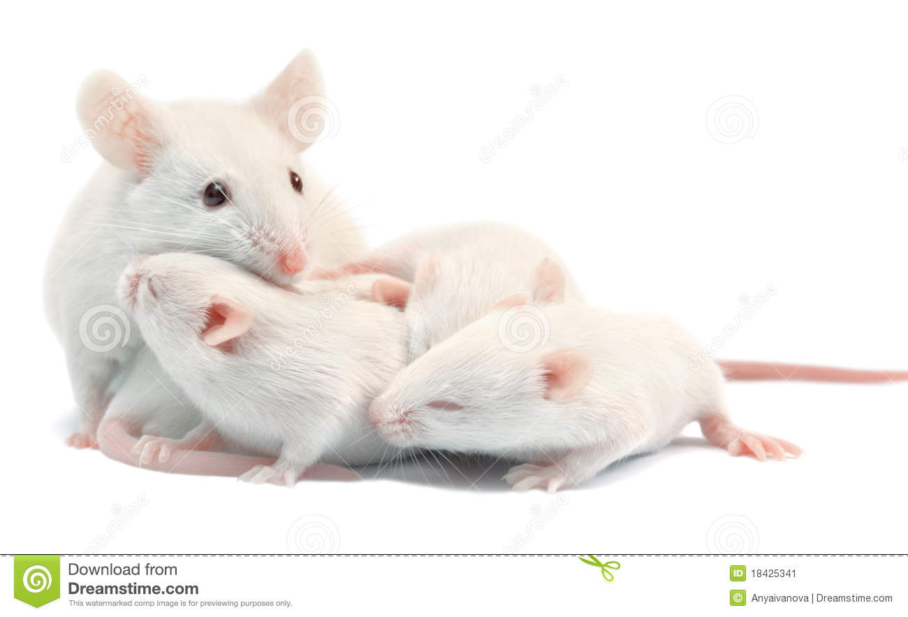 White laboratory mice: mother with pups; isolated