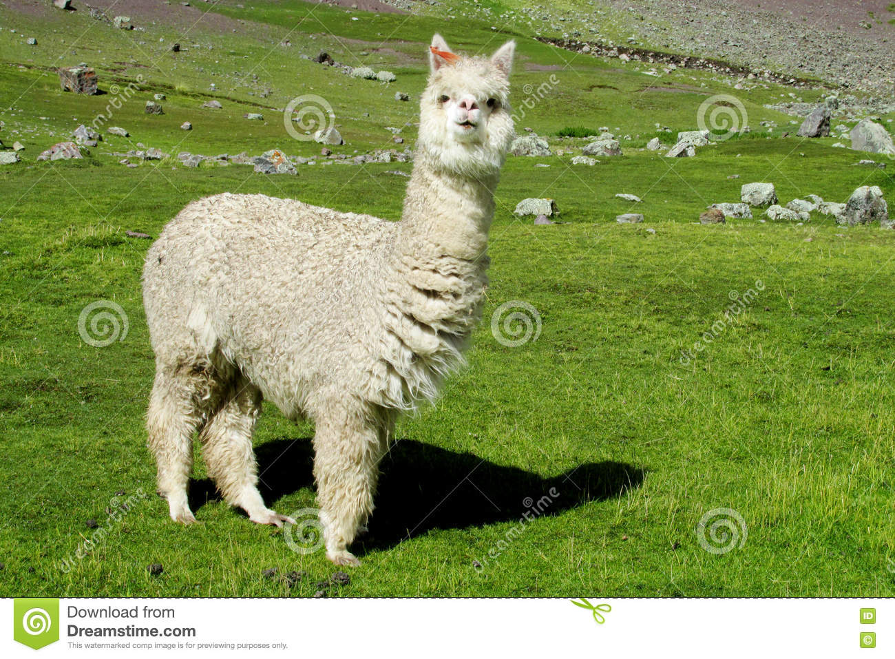 Download White Lama On Green Meadow Grass Stock Photo - Image of furry, fuzzy: 73487354