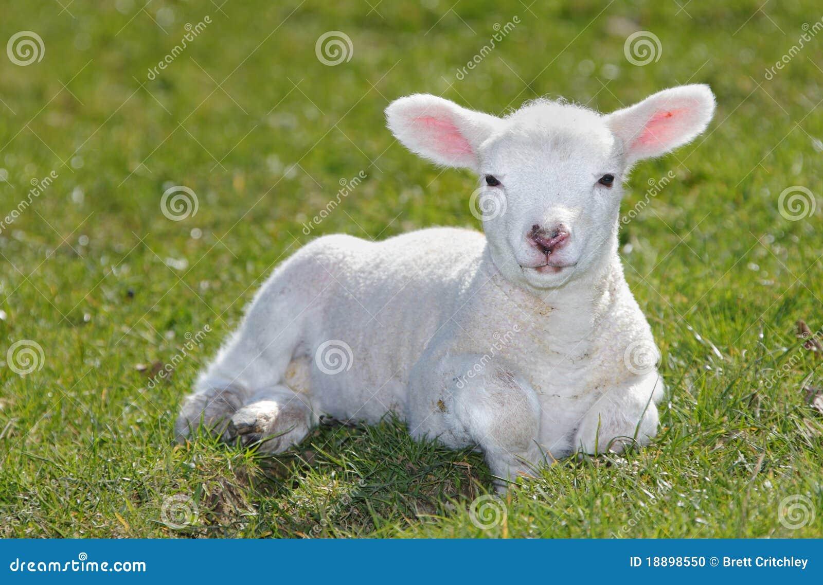 White Lamb Stock Photo - Image: 18898550
