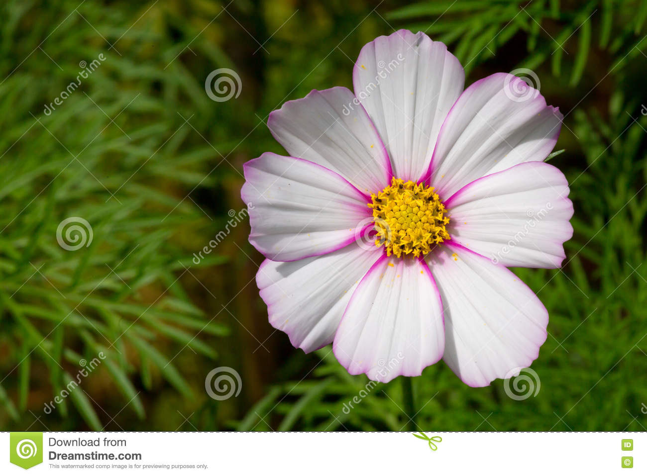 White Light Pink Cosmos Flower Stock Image Image Of Beauty