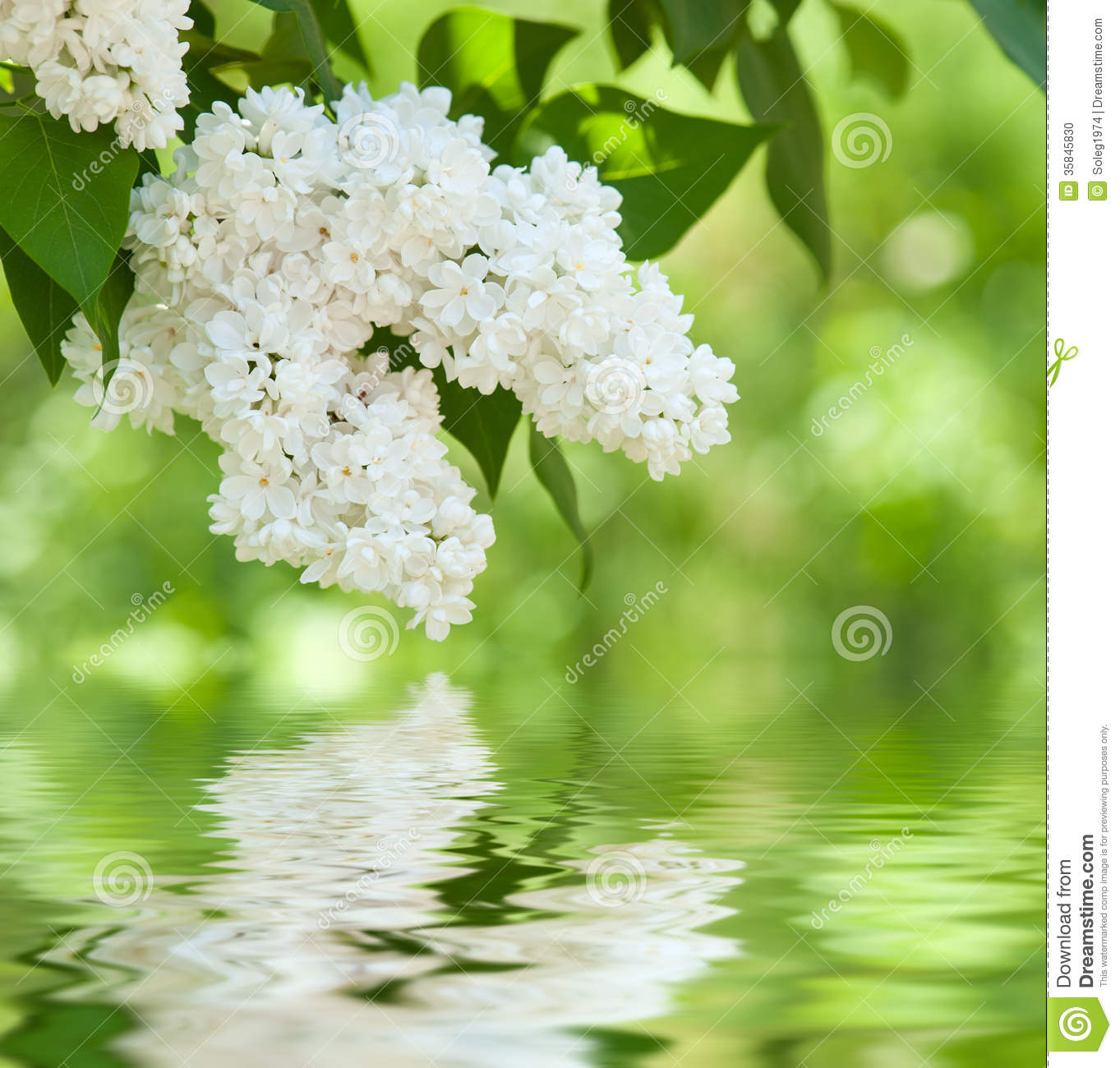 white lilac blossom in spring stock photo image of garden