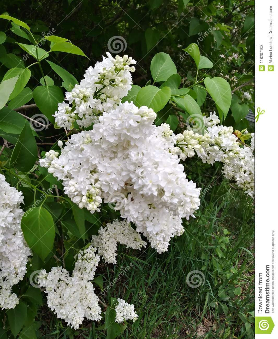 White lilac bush blooming fragrant flowers green leaves stock photo white lilac bush blooming fragrant flowers green leaves mightylinksfo
