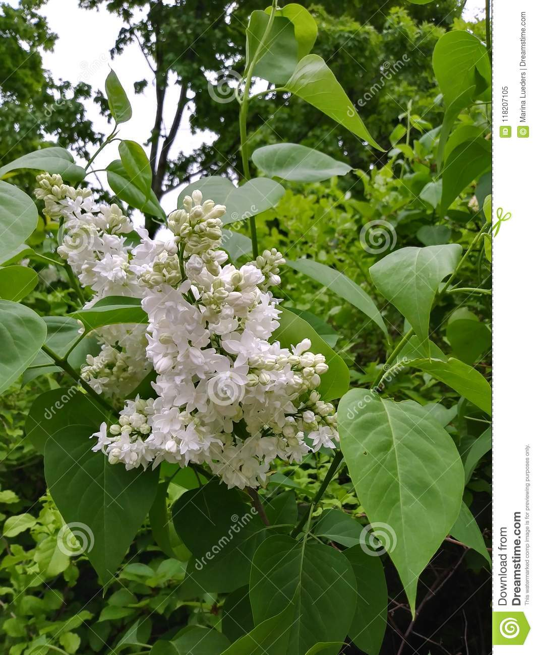 White lilac bush blooming fragrant flowers green leaves stock image white lilac bush mightylinksfo