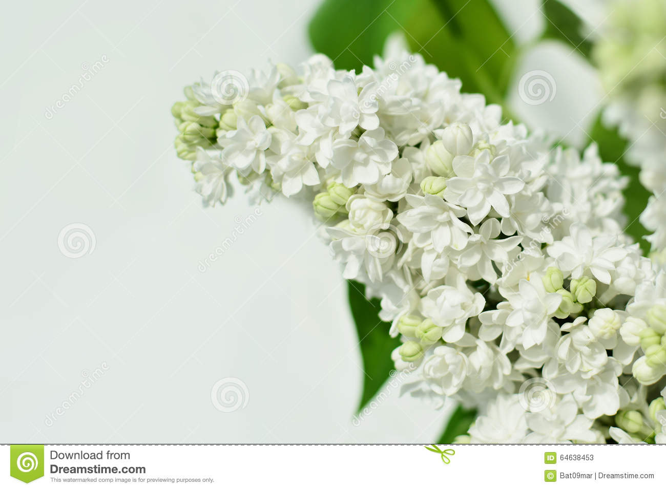 white lilac flower closeup stock image image of shrub 64638453