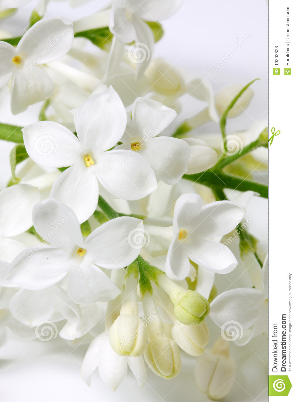 White Lilac Flowers Stock Photo Image Of Blooming Single 19303628
