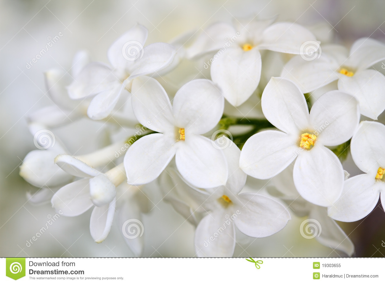 White Lilac Flowers Stock Image Image Of Shoot Lilac 19303655