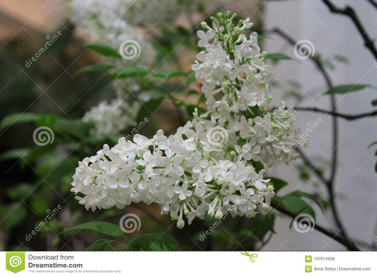 White Lilac Flowers Close Up In The Winter Garden Stock Photo