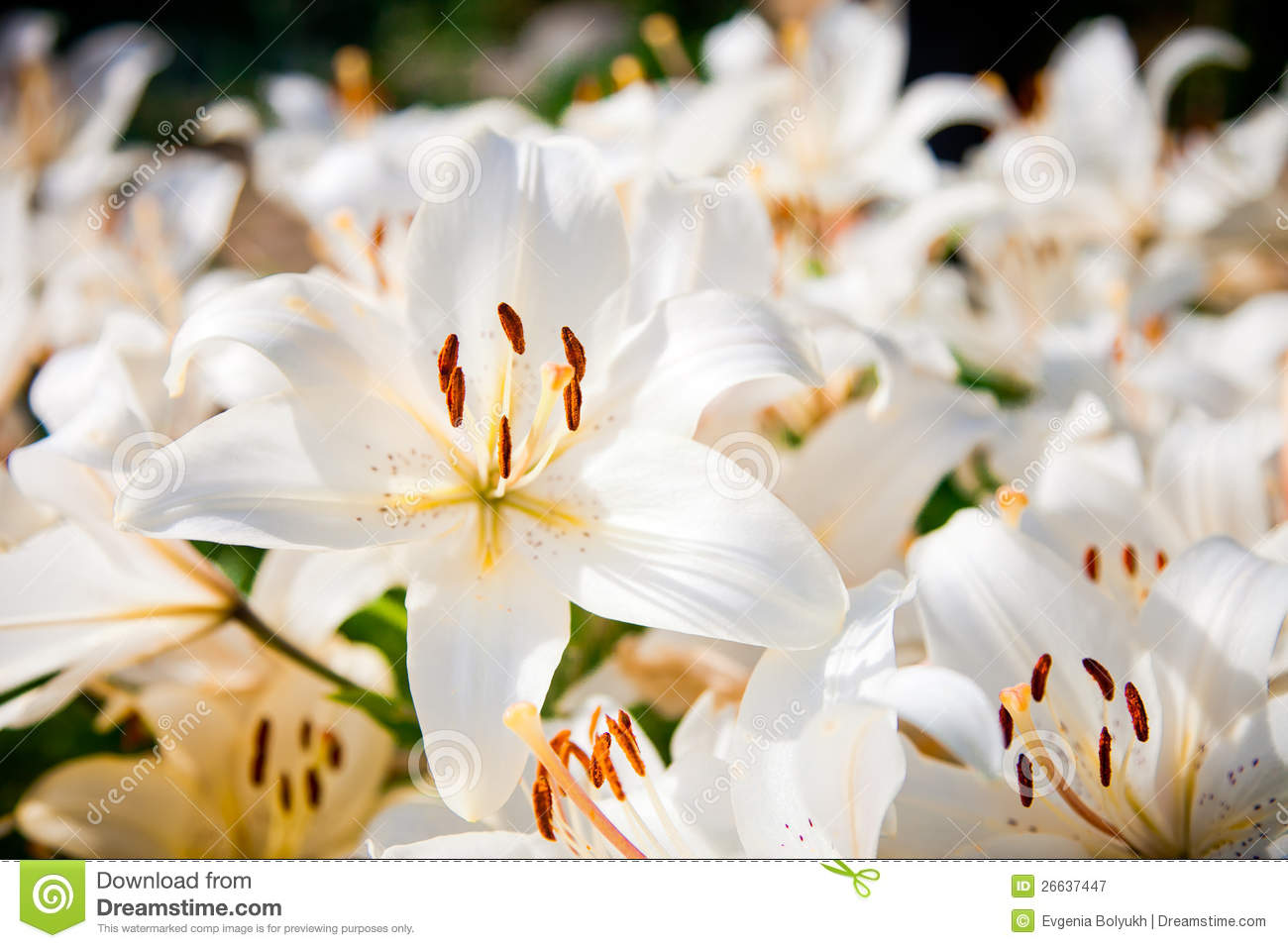 White Lilies Field Royalty Free Stock Photography Image