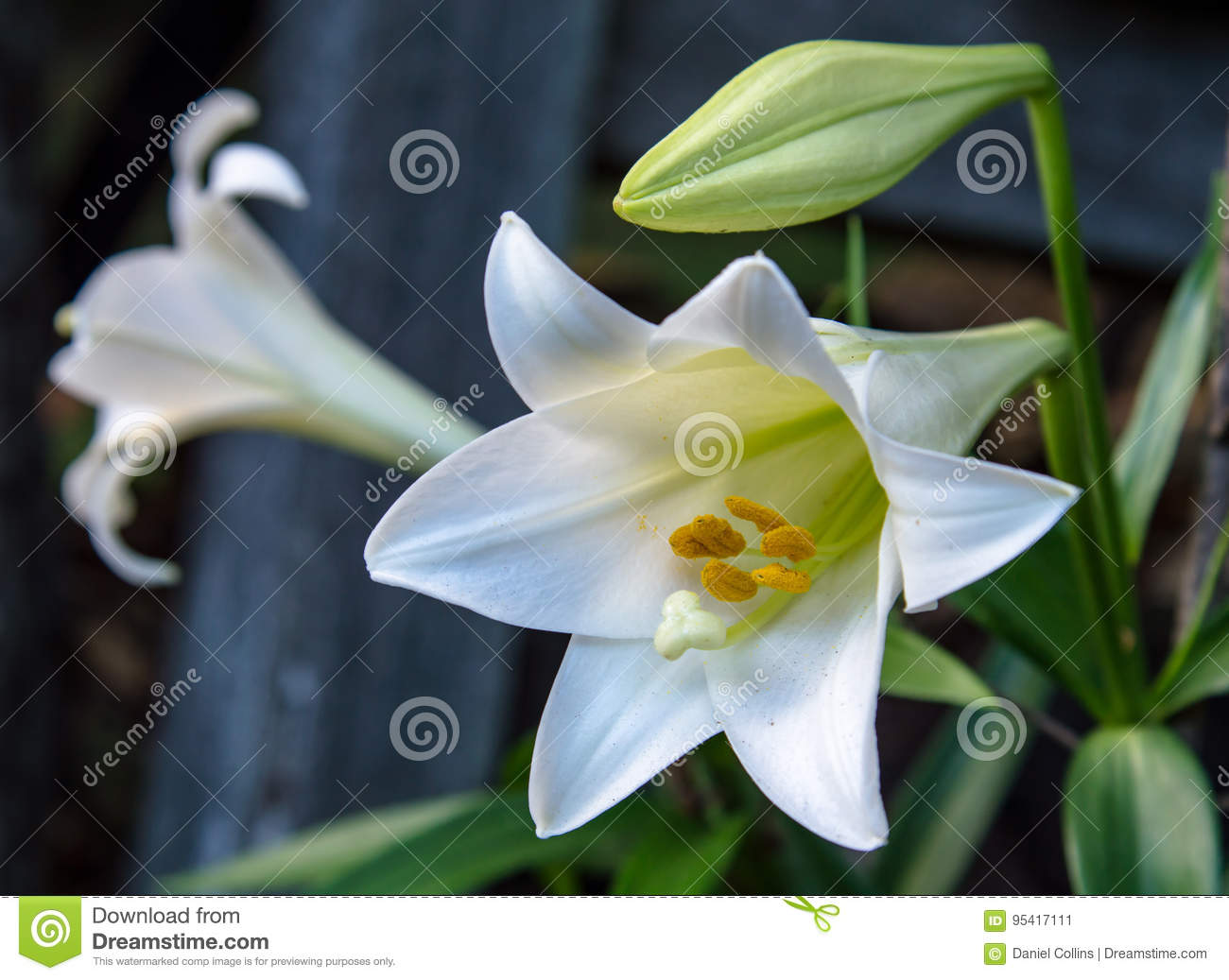 White Lilies Stock Image Image Of Flower Blossoms Aroma 95417111