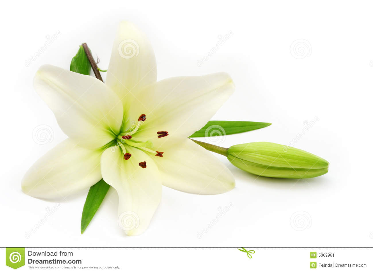 White Lily Stock Image Image 5369961