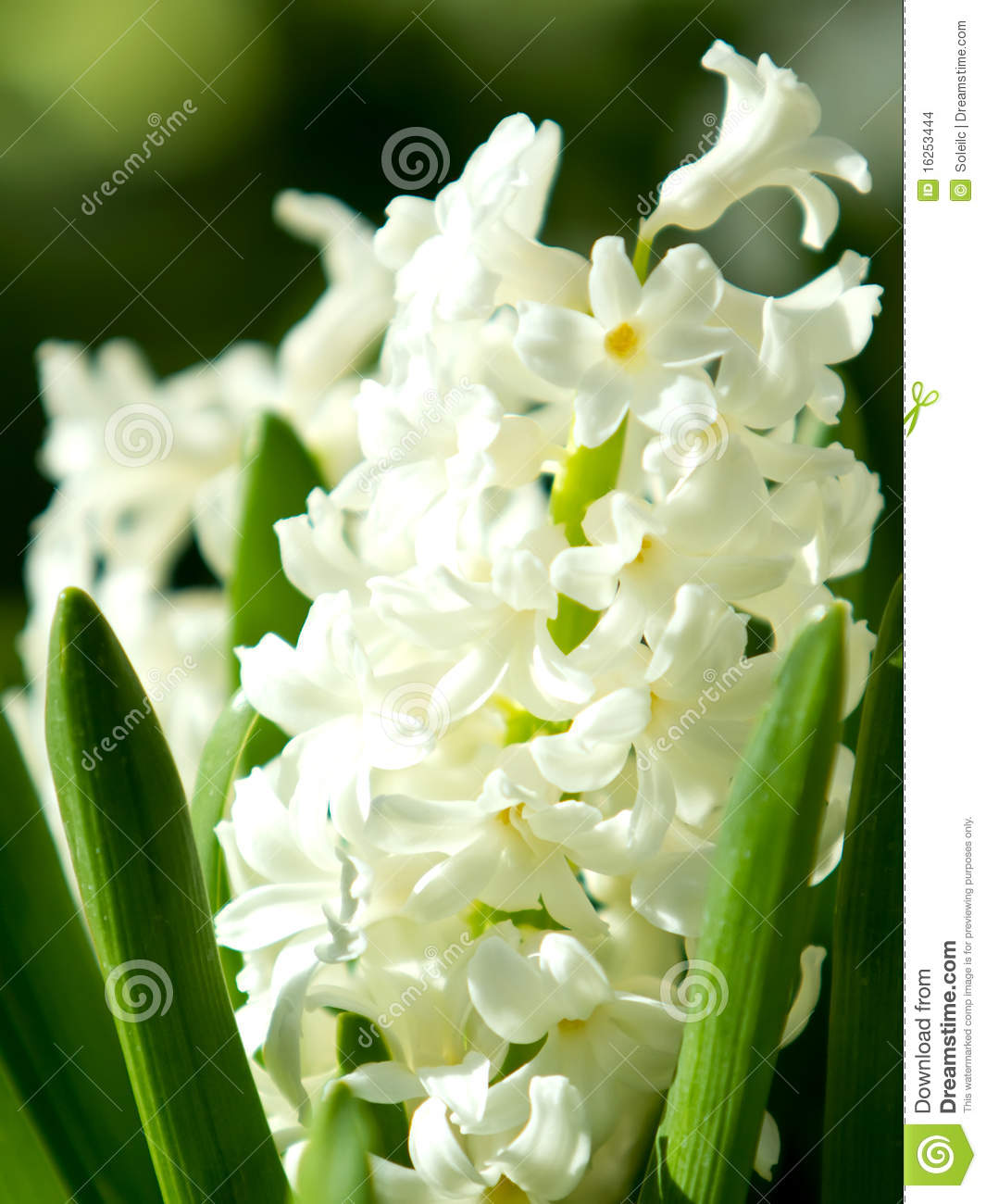 White Lily Flower Stock Photo Image Of Blur Hyacinth 16253444