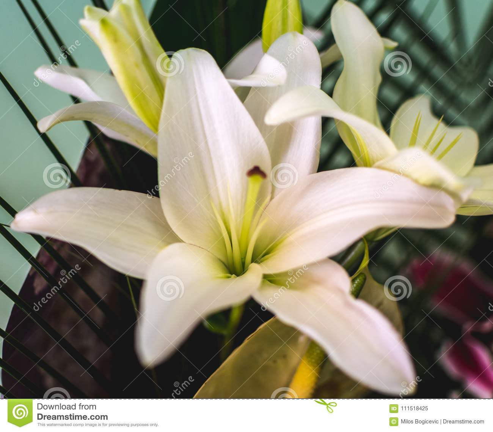 White Lily Flower Background Lilium Stock Image Image Of
