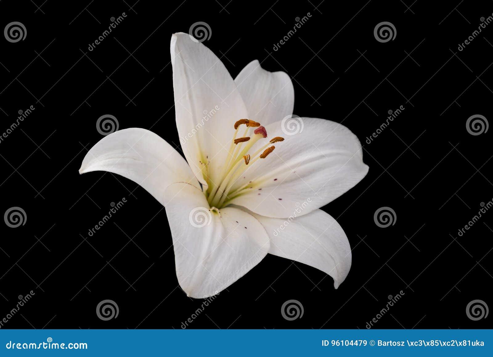 White lily flower on black background stock image image of lilly white lily flower on black background izmirmasajfo